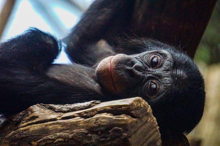 動物園のチンパンジーのイメージ