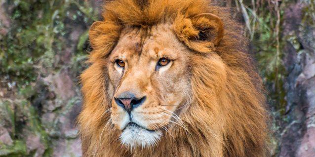 イケメンなライオン