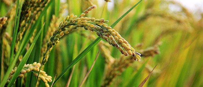 稲のイメージ